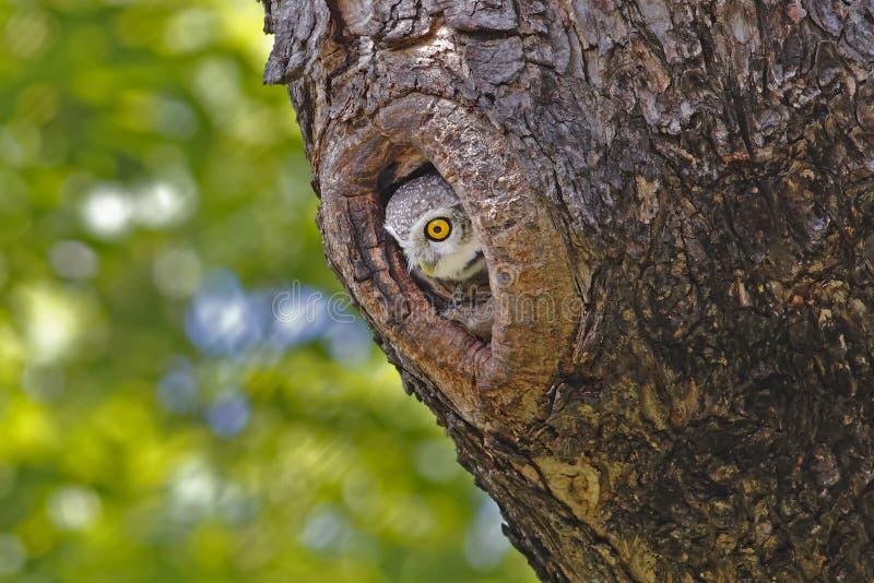 Bevlekte brama van jonge uilathene in holle boom stock fotografie
