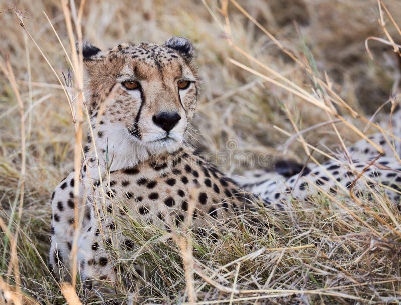 Bevlekte crocuta van hyenacrocuta in de Afrikaanse savanne stock afbeeldingen