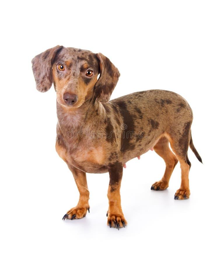 Bevlekte das-hond royalty-vrije stock foto's