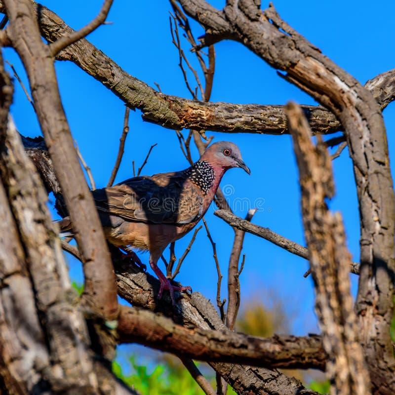 Bevlekte duif in de boom stock foto
