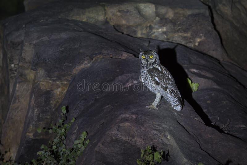 Bevlekte Eagle-Uil zitting op rotsen in schijnwerper bij nacht royalty-vrije stock afbeeldingen