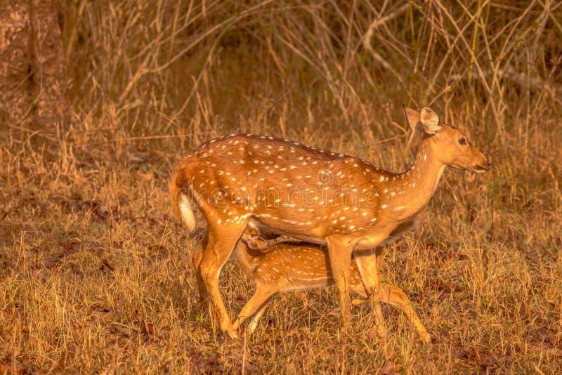 Bevlekte herten die haar baby bij kabini bosgebied voeden royalty-vrije stock afbeeldingen