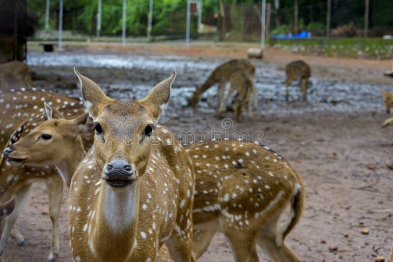 Bevlekte herten in het park van Kochi stock afbeelding