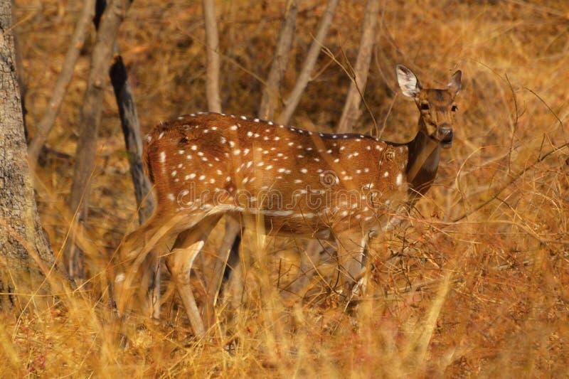 Bevlekte Herten van Chital bij Sagareshwar-wildreservaat, Sangli, Maharashtra stock foto