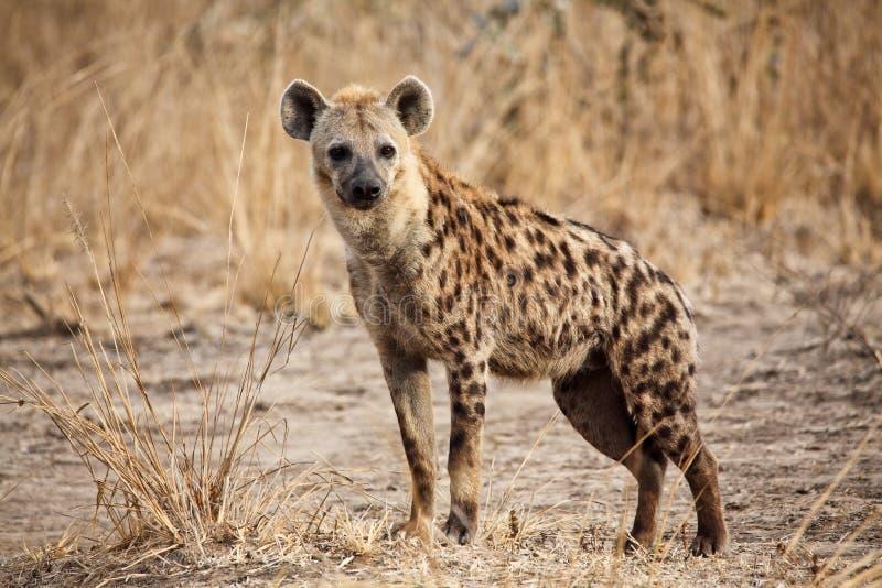Bevlekte hyena stock fotografie