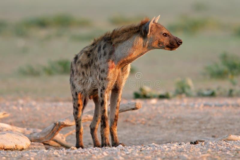 Bevlekte Hyena stock afbeelding