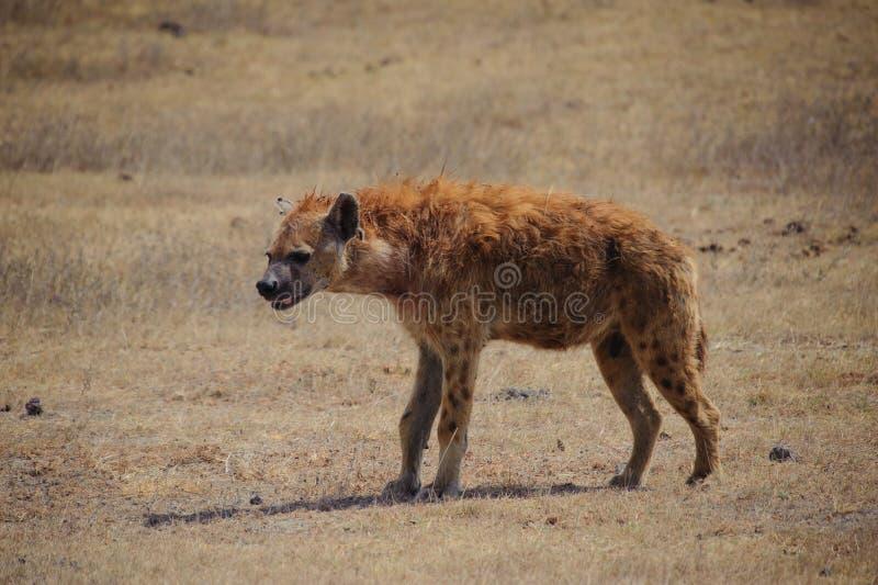 Bevlekte hyena (crocuta Crocuta) stock foto