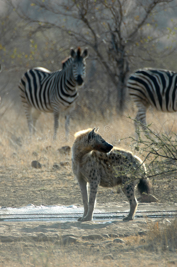 Bevlekte Hyena met zebra royalty-vrije stock fotografie