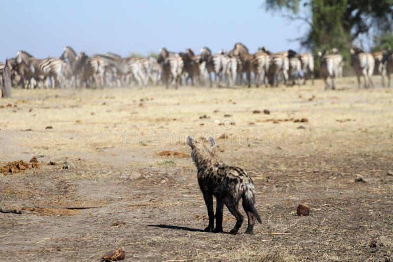 Bevlekte hyena met zebra royalty-vrije stock afbeelding