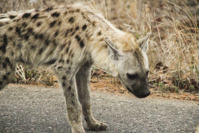 Bevlekte hyenawelp die rond dichtbijgelegen familie, het Nationale Park van Kruger, Zuid-Afrika lopen stock fotografie
