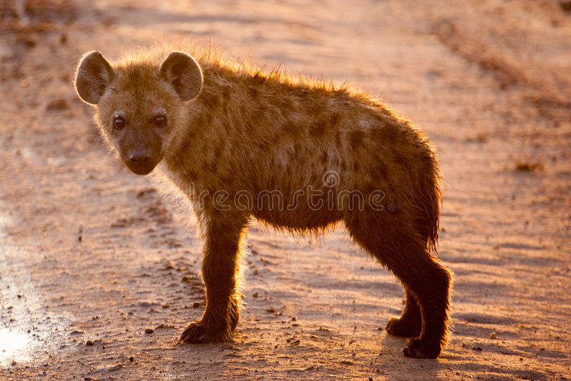 Bevlekte Hyenawelp in vroege ochtendzon royalty-vrije stock afbeelding