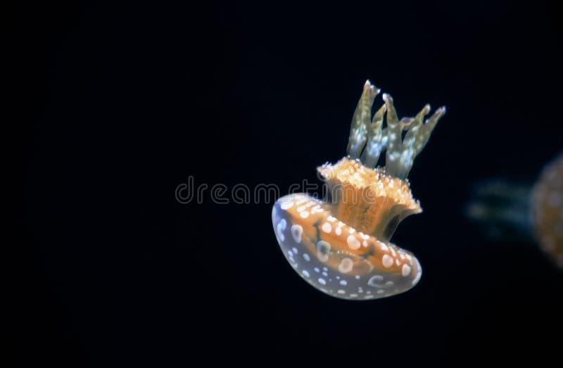 Bevlekte Jelly Mastigias Papoea stock foto's