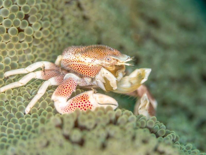 Bevlekte porseleinkrab, Neopetrolisthes-maculatus Pulisan, het Noorden Sulawesi royalty-vrije stock afbeeldingen