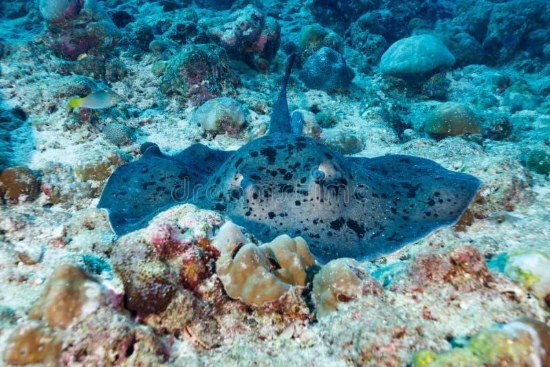 Bevlekte reus, pijlstaartrog, Taeniurops-meyeni, die op koraalrif rusten stock foto's