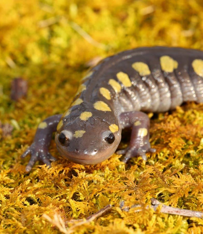 Bevlekte Salamander stock foto's