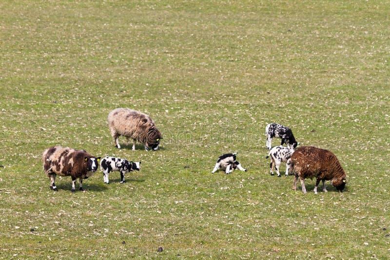 Bevlekte schapen stock afbeeldingen