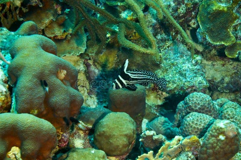 Bevlekte trommelvissen stock fotografie