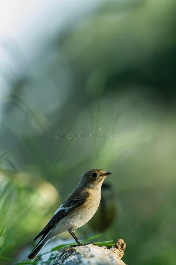 Bevlekte vliegenvangerzitting op houten boomstam in bos met bokehachtergrond en verzadigde kleuren, Hongarije, zangvogel in aard royalty-vrije stock foto's