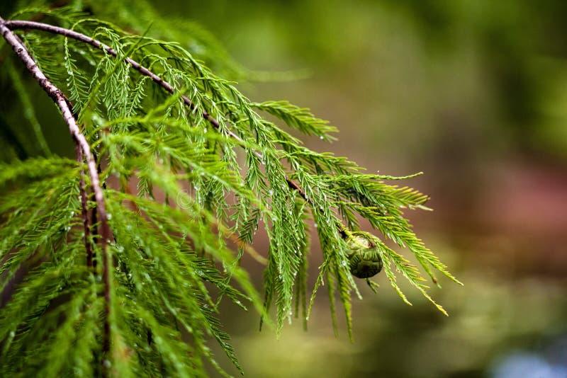 Bevochtigde pijnboom stock afbeelding