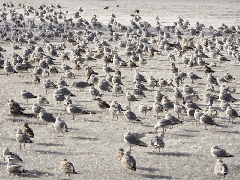 Bevolking van aalscholvers op het ijs van het meer stock foto's