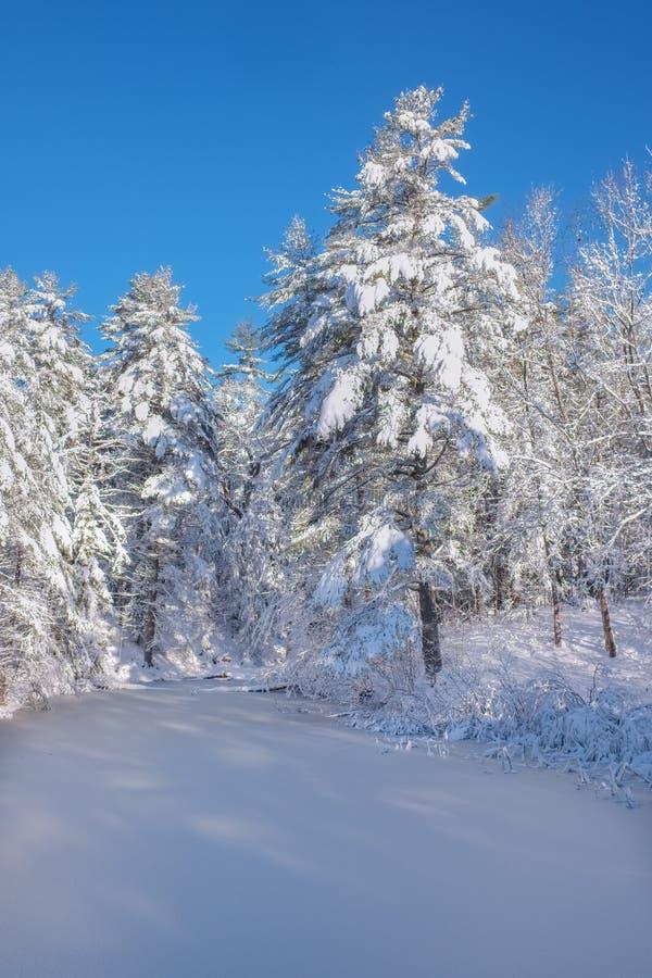 Bevroren beek die voorbij verse sneeuw behandelde pijnboombomen gaan mornin royalty-vrije stock fotografie
