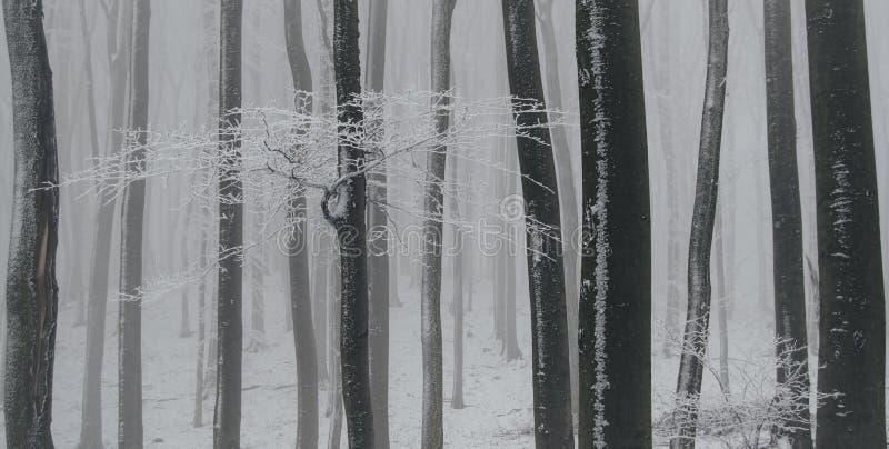 Bevroren beukbos in de winter met vorst en witte sneeuw royalty-vrije stock afbeeldingen