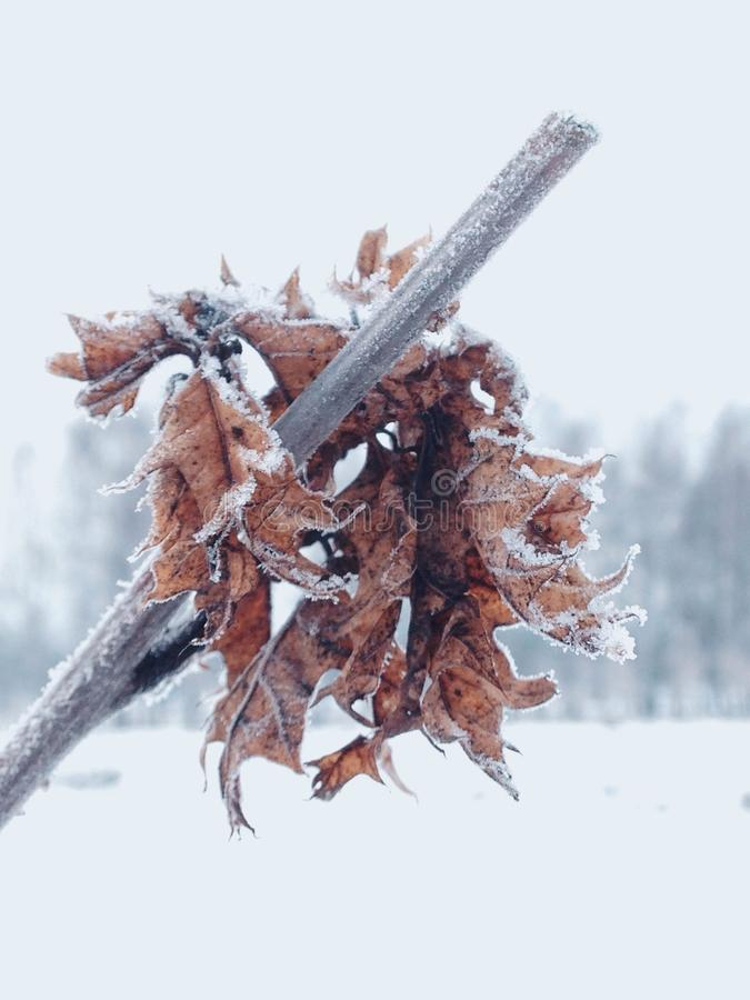 Bevroren Bladeren royalty-vrije stock foto's