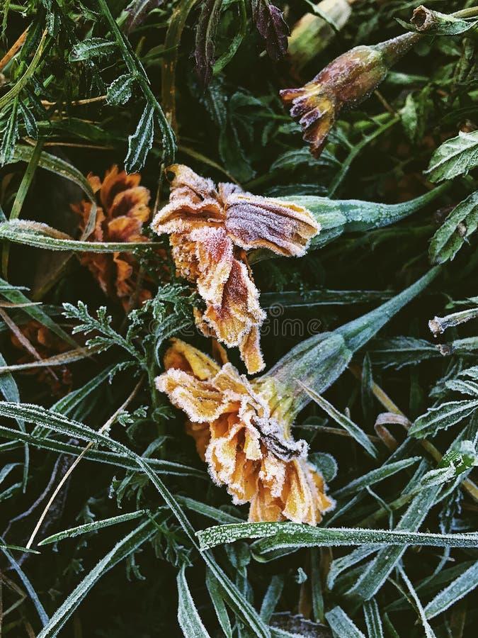 Bevroren bloemen met vorst op hen tijdens wintertijd stock afbeelding