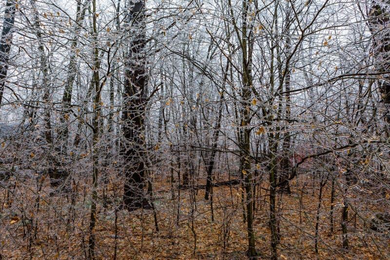 Bevroren bomen na een ijsonweer in het hout royalty-vrije stock afbeelding