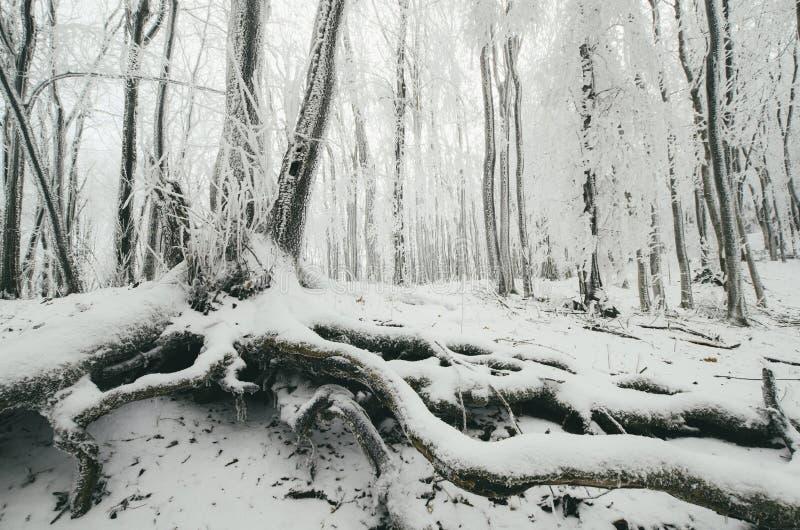 Bevroren boom met grote wortels in de winterbos royalty-vrije stock afbeeldingen