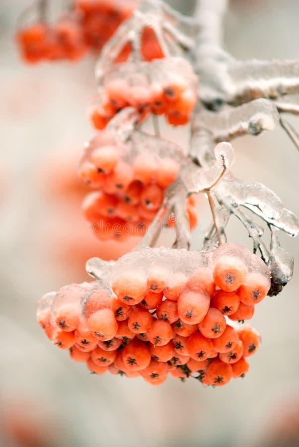 Bevroren boomtak met lijsterbessenbessen royalty-vrije stock afbeeldingen