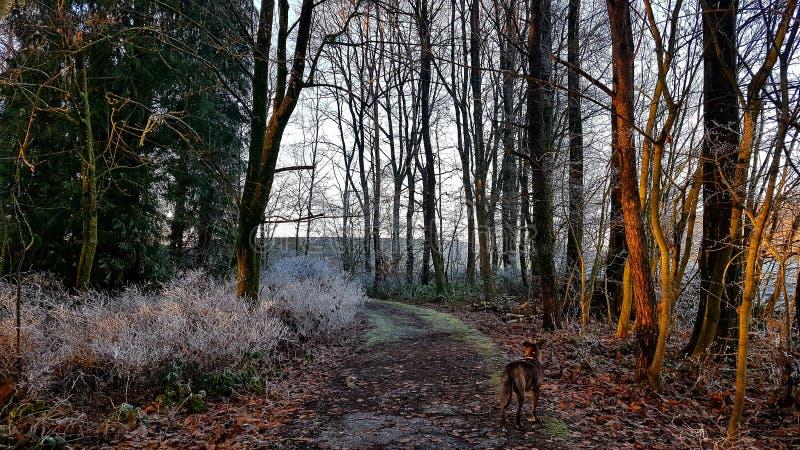 Bevroren bos in de winter van Luxemburg met de hond stock fotografie