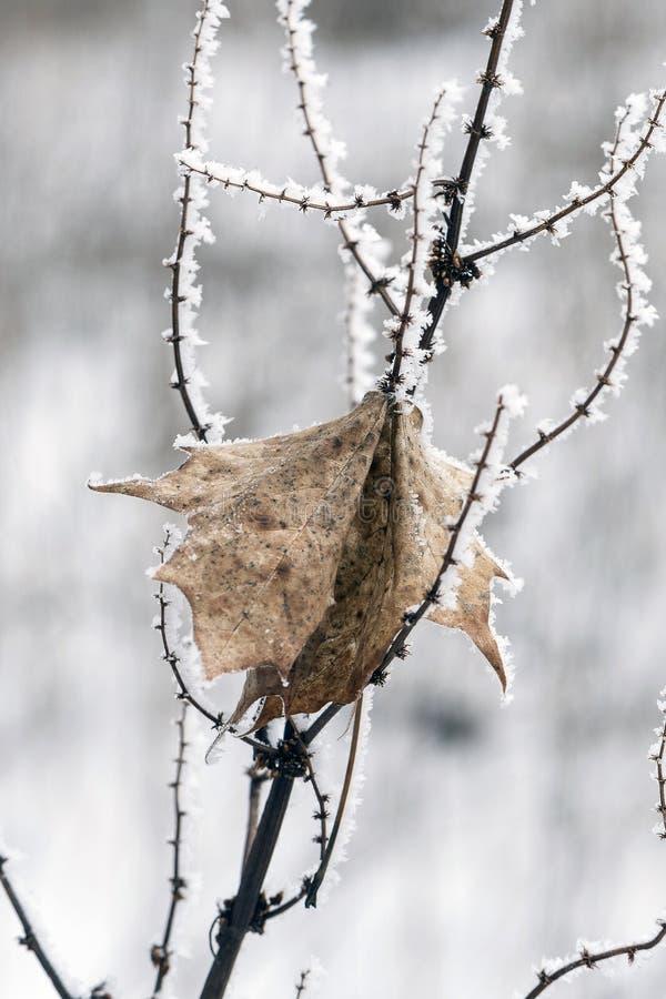 Bevroren die takje met kristallen van ijs met een dood droog blad in de winter wordt behandeld royalty-vrije stock fotografie