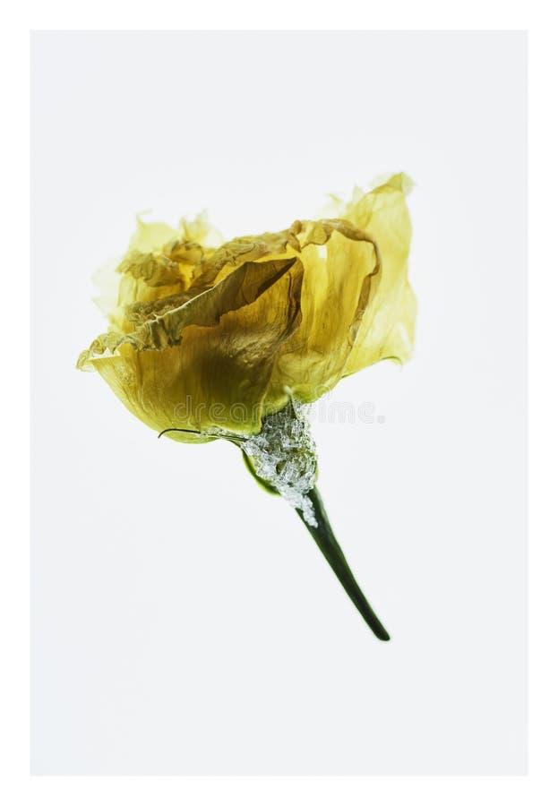 Bevroren geel nam - sluit omhoog - fijn art. toe royalty-vrije stock afbeeldingen