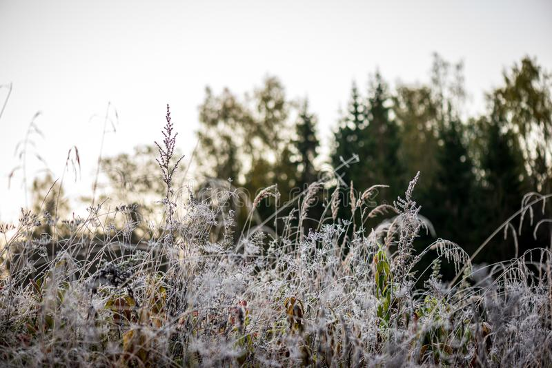 bevroren ijzig gras bents in de recente herfst met de winter komst royalty-vrije stock fotografie