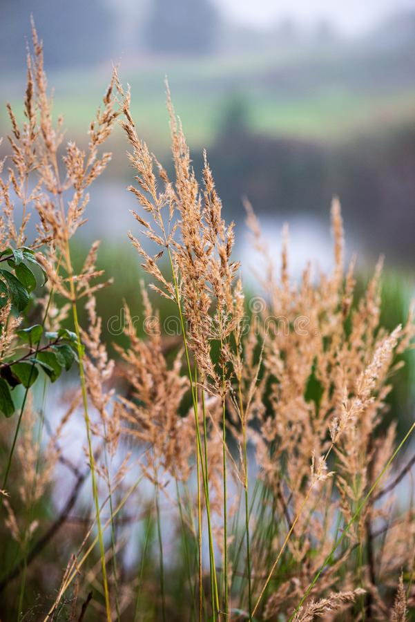 bevroren ijzig gras bents in de recente herfst met de winter komst stock afbeeldingen