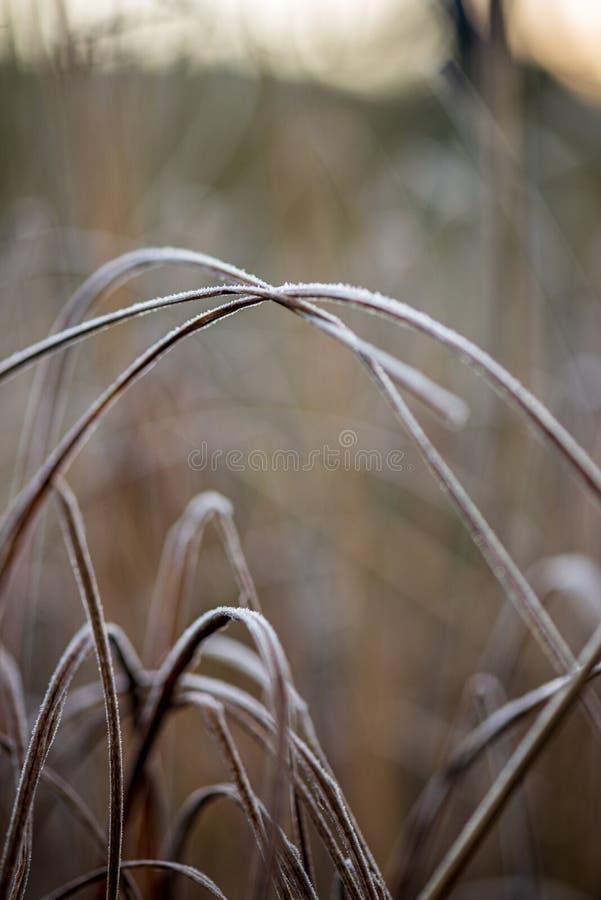 bevroren ijzig gras bents in de recente herfst met de winter komst royalty-vrije stock afbeelding