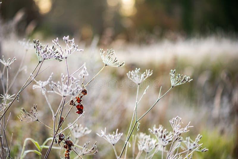 bevroren ijzig gras bents in de recente herfst met de winter komst stock afbeelding