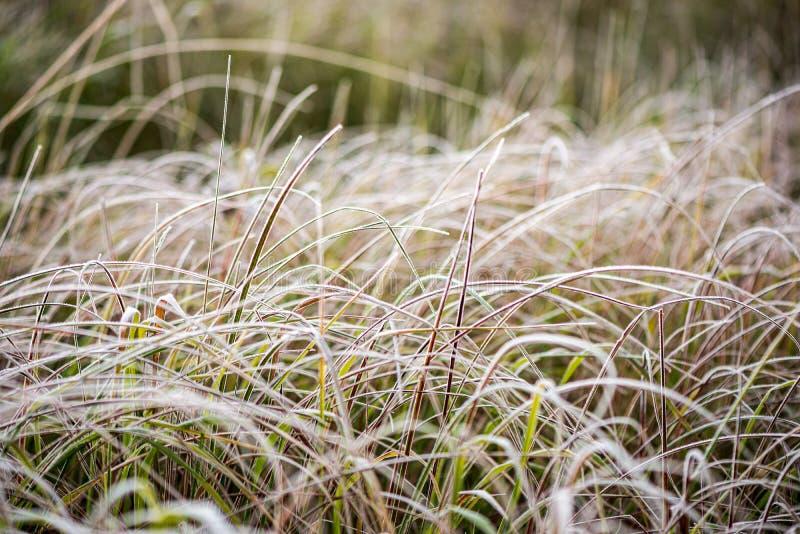 bevroren ijzig gras bents in de recente herfst met de winter komst royalty-vrije stock afbeeldingen