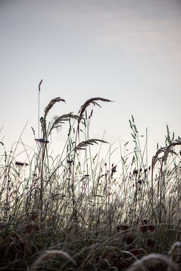 bevroren ijzig gras bents in de recente herfst met de winter komst stock fotografie