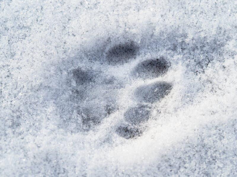 Bevroren kattenvoetafdruk dicht omhoog op oppervlakte van sneeuw stock afbeelding