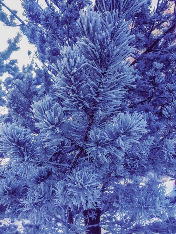 Bevroren Kerstmisboom van de de winterpijnboom tak met witte naalden royalty-vrije stock foto's