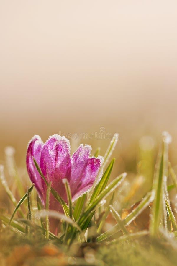 Bevroren krokusbloem in de bloem van de vorstlente in aard met zacht stock fotografie