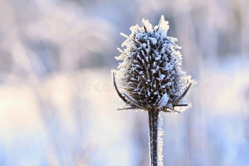 Bevroren Onopordum-acanthium Mooie de winter seizoengebonden natuurlijke achtergrond stock afbeeldingen