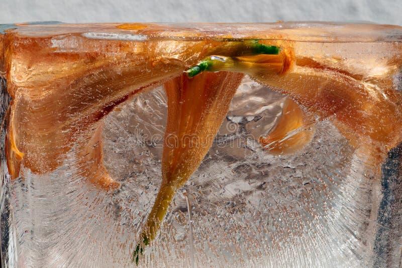 Bevroren Oranje daylily Hemerocallis-fulvabloemen in een ijsblokje De textuur van het ijs Ijs met bloemen Abstracte bloemenachter royalty-vrije stock afbeeldingen
