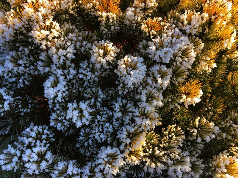 Bevroren pijnboom stock foto