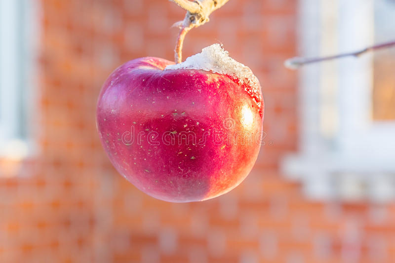 Bevroren rode appel op een tak dicht omhoog stock afbeeldingen