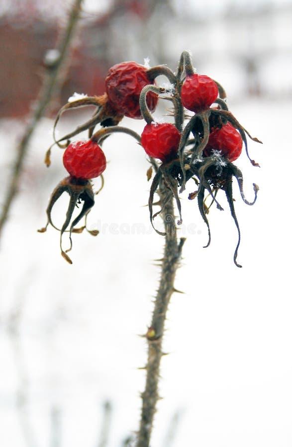 Bevroren rode bessen op sneeuwachtergrond stock afbeelding