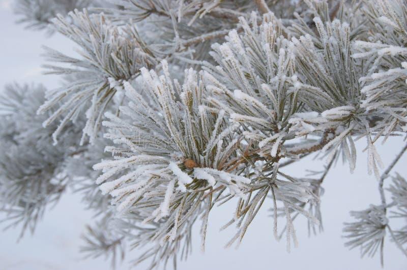 Bevroren tak van pijnboom stock afbeelding