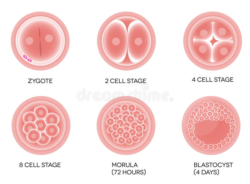 Bevruchte eiontwikkeling vector illustratie